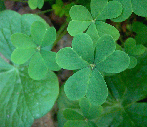 March shamrocks